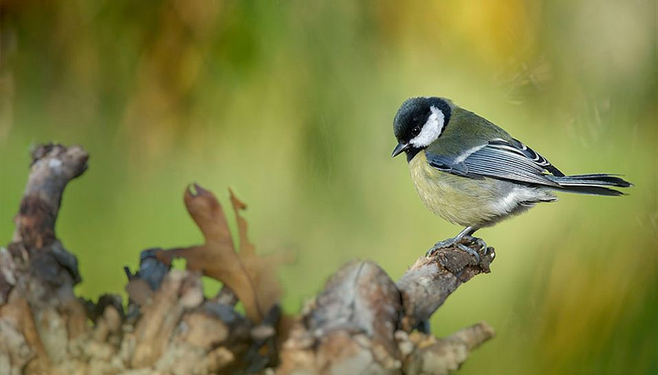 La cinciallegra (Parus major)